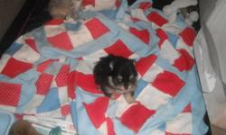 I have two beautiful Toy Pom pups they are very tiny and they will only be 2-3lbs mature wieght   One male that is tan and blue colour very unique One female black and rust colour Father is a black and rust Toy Pom 2 lbs wieght Mother is white with tan