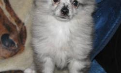 """Skittles"" is a Rare blue merle female puppy, both her mom and dad are here to meet too.  Both parents are registered AKC toy pomeranians but Skittles will NOT be registered.  She is well socialized and has been vetted with her first two sets of shots"