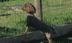 Hershey is a Gorgeous dark Chocolate male that is AKC registered. He is looking for a new home and gets along great with other dogs big or small cats and exotiv birds.  Due to my Health reasons I cna no longer give Hershey what he needs. He is good with