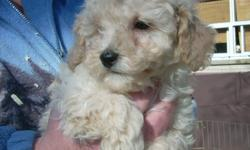 TOY POODLE PUPPIES 2 MALES 1 FEMALE TAILS DOCKED, DE-WORMED FIRST SHOTS. READY TO GO....HURRY ....WON'T LAST AT .......