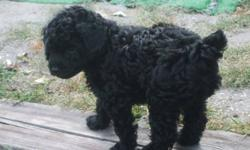 toy poodle puppies for sale..there tails are docked ,they have there 1st set of shots ,dew claws removed, de-wormed ,pad trained .non-allergenic..and vet records...they are so sweet, and they are looking for a good home..