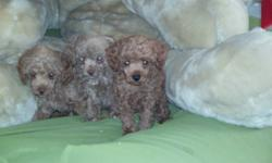Quality toys from toys from toys     Beautiful social and healthy puppies.   First shots and dewormed From CKC and AKC parents.   Inky Black Platnium Silver Golden Apricot Mahogany Red   teacup available  all puppies sold to pet homes. Phone calls