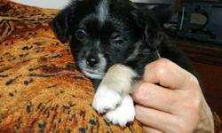 These sweet little puppies are part Shi-tzu and chocolate chiwawa and are called Shi-Chi's. They will be from 7 to 10 lbs. medium length fur, they shed less because of the shi-tzu and are calm yet active. They will have their needles, dewormed and de
