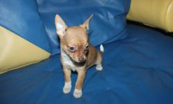 WE HAVE BEAUTIFUL  COLORED,PLAYFULL ,HAPPY & HEALTHY  CHIHUAHUA PUPPIES . PERFECT ADDITION FOR ANY FAMILY!! ASKING PRICE $500/EACH  WITHOUTH SHOT !!![FIRM]  WITH SHOT & STARTER BAG $600.- ADULT ESITIMATED SIZE IS AROUND 5 LBS. REDY TO GO HOME !!! 8