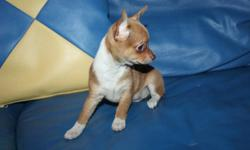 WE HAVE BEAUTIFUL  COLORED,PLAYFULL ,HAPPY & HEALTHY  CHIHUAHUA PUPPIES . PERFECT ADDITION FOR ANY FAMILY!! ASKING PRICE PIC 2,3,4,IS $450/EACH  WITHOUTH SHOT !!![FIRM] CHRISTMAS SALE !!!ONLY 4 PUPPY LEFT !HURRY UP!  IF YOU WANT WITH SHOT & STARTER