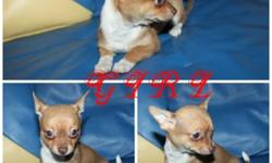"""BOXING DAY SALE!!!!ONLY TODAY $400/EACH !!!!PRICE IS FIRM!! WE HAVE 2GIRL & 2 BOY  CHIHUAHUA PUPPIES LEFT FROM 12 """" ,PLAYFULL ,HAPPY & HEALTHY  CHIHUAHUA PUPPIES . PERFECT ADDITION FOR ANY FAMILY!! PIC 1-2  IS A GIRL PIC 3-4 IS A BOY . ASKING PRICE IS"""