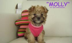 MORKIES? 1 GIRL LEFT !! (IN PINK SHIRT) We have 1 VERY friendly and outgoing toy size Morkie puppy ready to go! Mother is a Yorkshire Terrier (Yorkie), and the father is a Maltese. We estimate that they will mature to be around 6/7 lbs. This a