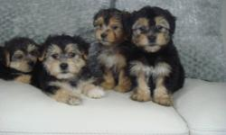 MORKIES TOY SIZE - VERY CUTE   We have 4 very fluffy and friendly Morkie puppies ready to go! They are 2 boys and 2 girls to pick from. We estimate that they will mature to be around 8-9 lbs when fully grown. Our puppies are $695.00 each and come with: