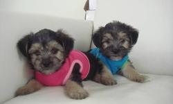MORKIES TOY SIZE - VERY CUTE   We have 2 very fluffy and friendly Morkie puppies ready to go! There is 1 boy and 1 girl to pick from. We estimate that they will mature to be around 8-9 lbs when fully grown. Their tailes have been left natural. Our puppies