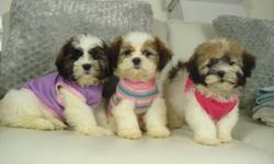 TOY SIZE SHIH POO PUPPIES 2 GIRLS AVAILABLE   We have 2 very friendly shih-poo puppies. All 3 are girls. They have been well socialized and are very playful and love to be handled. They're very outgoing and alert.   Shih poos are a cross between a shih