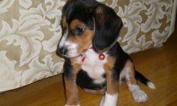 We have a tri-colour female beagle puppy. We got her for Christmas, but sadly we cannot take care of her anymore. She is AKC registered with all her health records and papers. She has a few shots. About 9 weeks old. Very good temperament. She is loving,