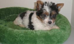 TRI COLOURED YORKIES  2 MALES AND 3 FEMALES WILL BE 5-6LBS FULL GROWN  1ST VACCINES  DE-WORMED  NON SHEDDING AND JUST THE CUTEST LITTE PUPS EVER! SWEET HAPPY AND PLAYFUL THESE LITTLE ONES HAVE WONDERFUL TEMPERMENTS. NOW READY FOR THEIR NEW HOMES.