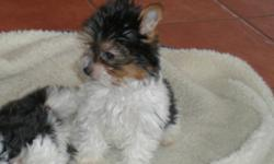 3 MALES AND 1 FEMALE  GORGEOUS TRI COLOURED YORKIES  PARENTS FROM GERMANY WILL BE 5-6LBS FULL GROWN.  UNIQUE LITTLE PUPS THAT HAVE WONDERFUL PLAYFUL AND LOVING TEMPERMENTS