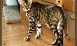 I have two beautiful Purebred Bengal cats for sale; (WITH PUREBRED PAPERS)   One Male named Chester who is fixed is three years of age and is declawed, and fully vaxenated.   One Female named Vera who is also is fixed, three years of age, and is fully