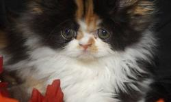 Only 2 gorgeous persian kittens left they are ready to leave for there new loving homes right away. Kittens are Vaccinated X1, Dewormed X3, PKD FeLV FIV negative & vet checked. So affectionate and playful, they are use to children, other cats and a small