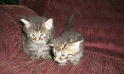 Two male Kittens free to good home, available immediately. Delivery to St.John's available.