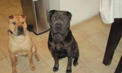 We have two beautiful shar pei, that we are unable to give the time needed to spend with them.  The female is about 3 years of age, she is fawn in colour and is a very happy dog.  Charlie is the male, he is black, hes two, also a very loving animal.   We