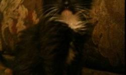 Female: semi longhaired, black, white streak up nose, white chest, white boots Female: semi longhaired, grey, white marking on face, white chest, white boots, small white tip on tail Love being in arms, good purr motors, litter trained, mellow