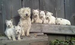 READY TO GO TO A GOOD HOME TODAY West highland puppies House Trained mother and older sister on site both parents are pure westies but not registered. puppies have health records first shots deworromed advantage   The puppies are very lovable, playfull