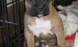 Hi my name is K-Cee i am a 2 yrs old brindle purbeed  boxer, My owner bred me to a big boy (also purbred) named Tyson! And i only had one puppy! Imagin that! He is unique because although he is a brindle he has very few stripes! But if i must say he is