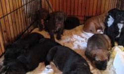 FATHER IS A BULL MASTIFF CROSS BLACK LABRADOR   MOTHER IS A DALMATION / CROSS   7 GIRLS 3 BOYS   $25.00 PER PUPPY   IDEAL TO BE SOLD ASAP AND GOOD CHRISTMAS IDEA AS WELL!!