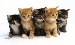 Muskoka and Parry Sound Independent Animal Rescue is looking for foster or forever homes for kittens that were born in August, 2011.   The photo on our ad is not an actual photo of the kittens available. We do have a variety of kittens so if you are