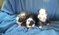 VALLEY BULLDOG PUPPIES for sale. They will be de-wormed, 1st needle and vet checked. Both parents on site. 3 males(blue blanket) and 2 females(yellow blanket) still available Middle female spoken for. I will not ship puppies. To approved homes only.