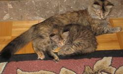 Good Day Folks ..I have a variety  of  3/4 Maine Coon Cross Kittens ( Six  weeks to 10 weeks old)  ..One 5 month old Male.... and one  5 month old Female!..I am also going to *very sadly* part with  a very  outstanding   18 month old unaltered  Female