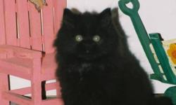 Looking to adopt a very long-haired 8-12 week old MALE kitten. All grey, all black, tabby... let me know the details about the kitten (health, personality, price..)   MUST be dewormed, defleaed and tested for feline Leuk. Do not email if the kitten does