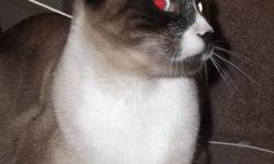 Absolutely stunning Snowshoe Siamese looking for a new home. Mocha is 1 1/2 yrs., neutered, very active, playful Snowshoe Siamese cat. Loves other cats, and his people. This little guy loves everyone, is very curious & intelligent. He was adopted to be a