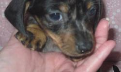 We have 2 very small males left, 1 silver dapple male he will be 6-8 pounds full grown & 1 black and tan male he will be 7-8.5 pounds, very small for this breed! This is moms 2nd litter her 1st litter was with the same father all the pups ended up being