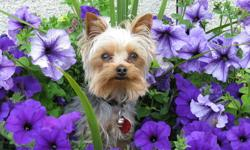 We have a brand new litter of very tiny Yorkshire Terrier puppies. Born on Sept.26th.2011. Many people say our dogs are called Tea-cup yorkies, ,I just say they are very small.. Yorkies are hypoallergenic and do not shed. Great little dogs for people with
