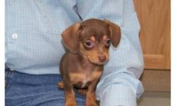 These little chiweenie puppies have beautiful brown & carmel markings and are extremely loveable and playful. We do have female and male puppies available, these puppies would make a wonderful family pet. Puppies have their 1st vaccinations, and they have