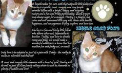 Absolutely beautiful rescued kittens available for adoption into loving and responsible, indoor only homes.   Kittens range in age from 3-9 months, they have been FULLY VETTED FOR THEIR FIRST YEAR - vaccinated inclusive of booster and Rabies, treated for