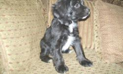 I have one male and one female Papillon ( Contenental Toy Spaniel ) and American Cocker Cross Puppies for sale. Both breeds make amazing family pets. They are happy healthy and ready to go!   Coca Available at 250.00    Teeny  Tiny Trinity my last female