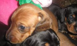 Mini Dachshunds (weiner dogs) born CHRISTMAS DAY !!!! Available for new homes week of VALENTINES DAY. Email for more info. Jingle, Kringle, Dascher, Vixen, Holly, Tinsel and Gingy !! Two (2) Female black and tan - Vixen and Holly Three (3) Male red -