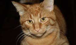 Handsome male orange tabby, about 1 year 9 months old.  Was a rescue as a kitten.  Neutered and fully declawed, must be an indoor cat.  Daughters are allergic and must find a new home for this lovely cat.  Please email or call Laura if interested.
