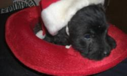 We are the most adorable puppies waiting for our forever home.  Mommy is a purebred Cairn Terrrier and Daddy is a purebred West Highland Terrier. They are males and females that are black, white or cream coloured.  These non shedding pups have had their