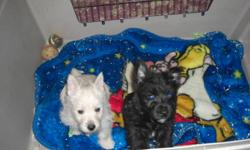 These cuddly non shedding puppies are so sweet and lovable.  There are only 2 males left - one brindle and one cream coloured.  Mommy is a purebred Cairn Terrier and daddy is a purebred West Highland Terrier.  They have had their 1st shots, dewormed and