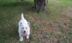 Reg. CKC three year old Female Westie.  Very friendly and fun-loving.  Reason for selling I have to cut down on my breeding females.  She has never had a litter but is not spayed.   Can deliver to the Lower Mainland.