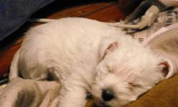 I have 4 female West Highland White Terriers for sale. They are registered,full physical,first shots,de-wormed,and come with a 1year health guarantee. They also come with their own medical history,a blanket,collar,leash and some food. Their parents are on