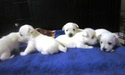 Only 2 adorable female Westie pups left looking for a loving home.  They were born November 14, 2011 and are ready to move out (8 weeks old).  These dogs are incredibly smart & friendly and fit very well into a family environment.  They are equally happy