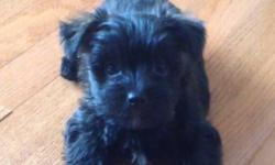1 adorable female puppy left for sale. Mom is 11 lb westie and dad is 3 lb yorkie. She should be around 9 lbs full grown. She is vet checked, dewormed and vaccinated. Raised in a loving home! Puppy is well on her way to being paper trained! This ad was