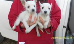 West Highland White Terrier (Westie) Puppys ready to go to new loving homes. Puppys have been vet checked dewormed and got there 1st shots. Asking $350.00 519 290 1950 1 male & 1 female