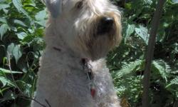 Registered breeder of Soft Coated Wheaten Terriers for over 18 years. Lovingly raised in our home.  We have puppies and a young adult available.  To inquire about our puppies, health guarantee, breeding program, and puppy training or to book a visit