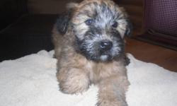 Non-registered Wheaten Terrier Puppies.  Vet checked, tails docked, and first shots.  Wheatens are non-shedding and hypo-allergenic.  They are easy to train, love attention, very good with children and make great companions.    I have both parents, male
