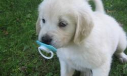 Purebred,  CKC registered puppies, micro-chipped, vet-checked, first vaccinations, and de-wormed.  A beautiful litter of white golden retriever puppies.  Father is white, English cream, mother is a gorgeous golden.  Puppies and parents are raised in our
