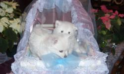 We have 2 beautiful Purebred, snow white, female, baby Pomeranians for sale. We are a small registered breeder located in the BC Okanagan, raising poms is what we love to do. Our dogs come from bloodlines of Canadian and American Grand Champions. The