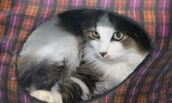 Winnipeghumanesociety.ca is adopting out Felix #314875   Felix is a relaxed, confident cat that loves to be in the center of everything. As soon as you pet him, he starts to purr soothingly. If you're looking for a cat to calm your nerves and help you