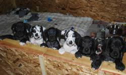 WE HAVE 5 BEAUTIFUL GREAT DANE PUPPIES LEFT  out of a litter of 12. THERE ARE 2 MALES Hawk- he is black with a hawk on his chest, and a bit of white on his toes and heels Bentley- he is black with a large white mark on chest and some white toes. 3